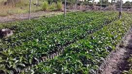 Semillero de café cenicafe 1