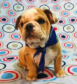 Vendo o cambio bulldog inglés fawn Merle
