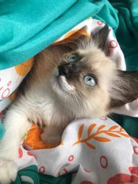 Hermosa gatica siames original