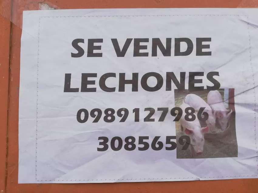 Lechónes 0