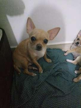 Chihuahua en venta