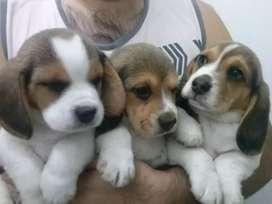 Preciosos beagles tricolores en disponibilidad