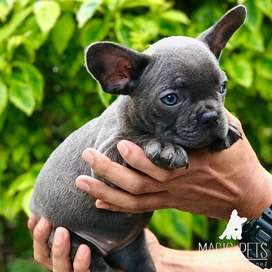 gentica gris blue bulldog frances