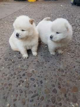 chow chow hermososs