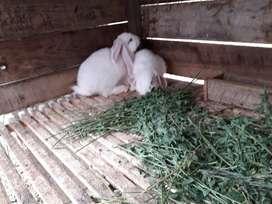 Venta de conejos gigantes