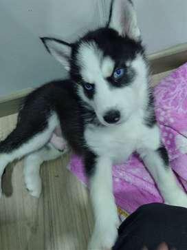 Husky macho ojos azules