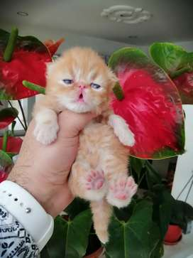 Gatico persa.  Extremo. Red tabby