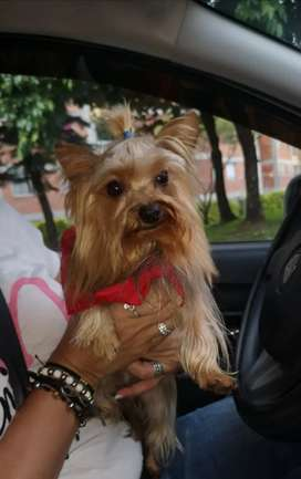 Macho Yorkshire Terrier mini busca novia