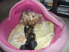 Yorkshire terrier minis