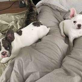 cachorritos certificados y vacunados frenchie entrega inmediata 48 dias
