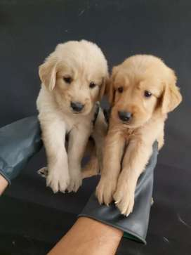 Listos para su compra golden retriever