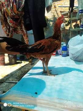 Venta gallinos