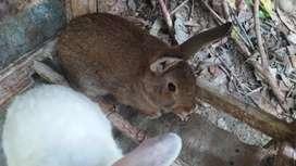 Se venden 2 conejos machos