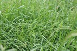 VENTA DE SEMILLA DE RYE GRAS INGLES, INTALIANO, ECOT, CAJAMARQUINO