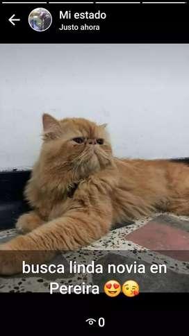 gatos persa clasicos y extremos para monta