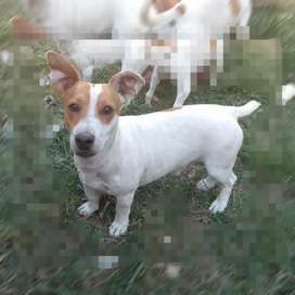 Jack russell para