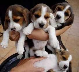 Educaditos y juguetones beagle