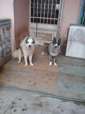 Vendo de oportunidad 3 cachorros Alaska Malamute pelo largo de un año , por falta de espacio y construcción de garaje.