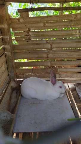 Conejos raza grande