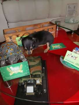 Cachorros de pincher tradicionales miniatura