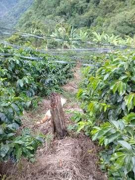 Se vende chacra con 2 hectareas de cafe oferton