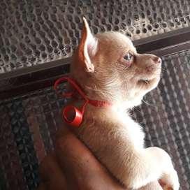 Chihuahuas Miniaturas