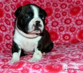 boston terrier la mascota ideal para tu hogar