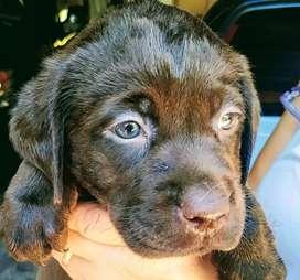 Hermosa cachorra labradora chocolate