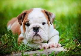 hermosos bulldog ingles de 48 dias certificados