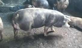 Venta cerdo padrote