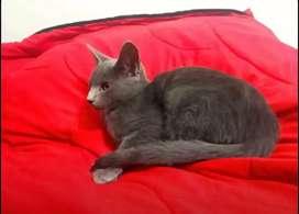 Doy en adopción gata  de raza azul ruso 6 meses esta operada