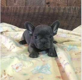 Venta cachorros bulldog frances blue, 55 dias.