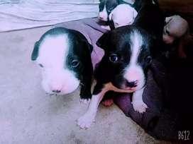 Cachorritos pitbulls terrier