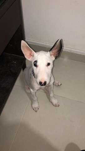 Bull Terrier no adopcion