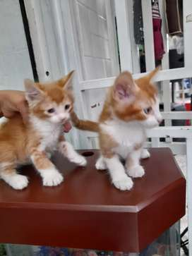 Gatos    crusados  de  dos  meces