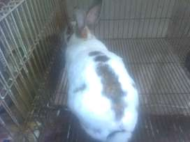 Conejo macho