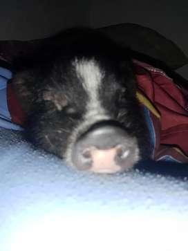 Vendo mini pig