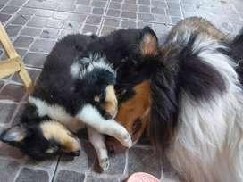 Cachorros Collie Rough Pedigree