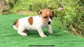 Precioso Jack Russell Terrier macho de 50 días