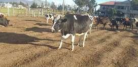 Vendo vaconitas y vacas preñadas y en produccion.
