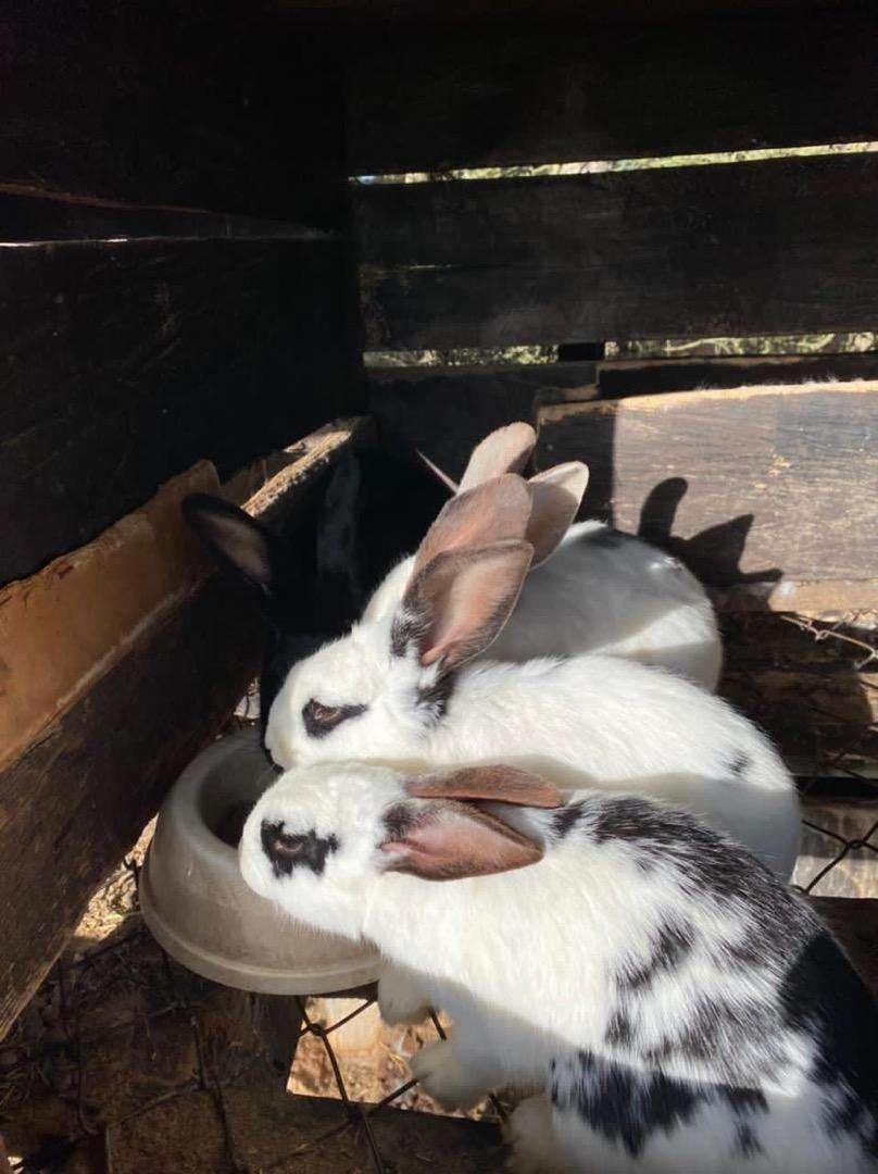 Venta de conejos, de execelente genetica. Con la mejor crianza y cuidado!