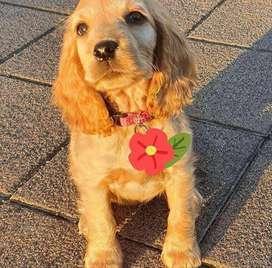 Hermosos cachorros para entrega inmediata de 50 días de edad