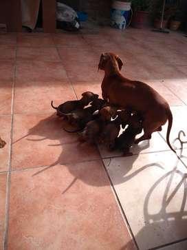 Cachorros Salchicha Mini (Dachshund)