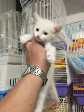 Gato siamés albino