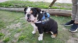 Servicio Stud Bulldog Ingles Black Tri