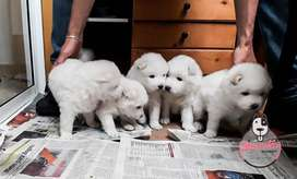 Espectaculares Samoyedos Disponibles