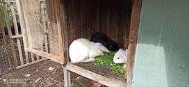 Conejos machos raza grande