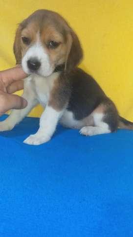 Vendo Beagles Enanos para Bogota