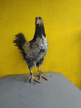 Pollos para reproducción