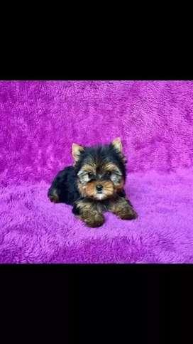 Ejemplares yorkshire terrier miniaturas